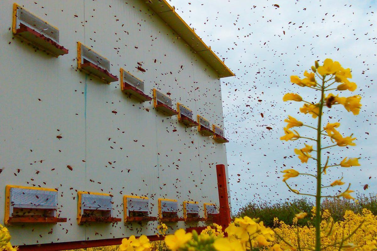 Boda-Méhészet-repceméz-Miere-de-rapita-Boda-Honey-miere-satu-mare-01-1200x800.jpg